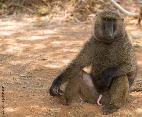 Pavian, Samburu Nationalpark
