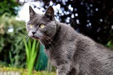 Carthusian Cat In A Garden