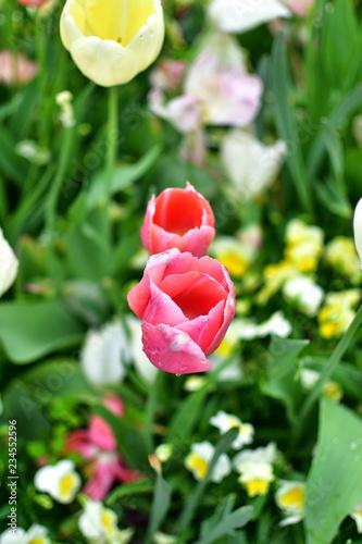 Photo  Twin Tulips in Tulip Festival