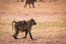 Baboon Walking With Her Baby At Serengeti National Park