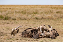 Flock Of White Backed Vultures...