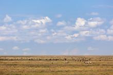 Herds Of Zebra And Wildebeest ...