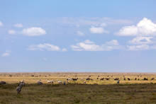 Herds Of Zebra And Wildebeest Grazing In Serengeti National Park