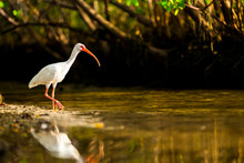 American White Ibis Walking Along The Shore
