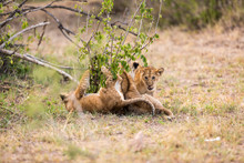 Lion Cubs Playing At Serengeti National Park