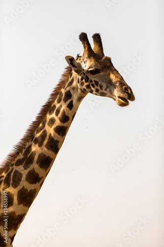 Close up of giraffe against clear sky at Serengeti National Park