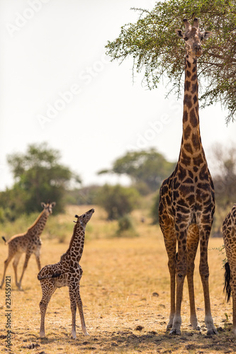 Baby giraffe standing with family at Serengeti National Park