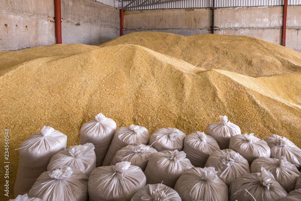 Fototapety, obrazy: Pile of heaps of wheat grains and sacks at mill storage or grain elevator.