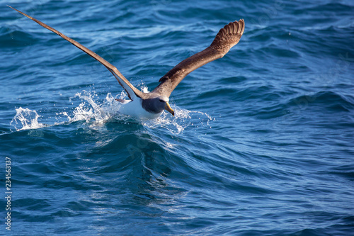 Fotografía  Chatham albatross taking off from water
