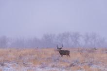 Lonely Mule Deer Buck In A Snow Storm. Wild Deer On The High Plains Of Colorado