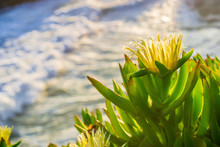 Yellow Iceplant (Carpobrotus Edulis) Flower On The Pacific Coastline, California