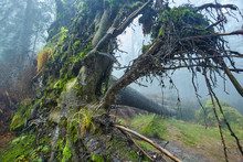 Big Uprooted Tree In The Forest