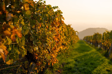 A vineyard in the morning sun on the Kahlenberg near Vienna