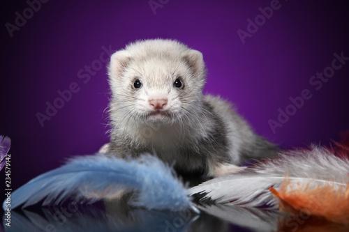 Fotografia, Obraz  Baby Ferret portrait in colored feathers