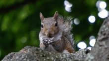 A Cute Squirrel Sits On A Tree Branch Eating A Nut Facing Towards With Green Bokeh Background