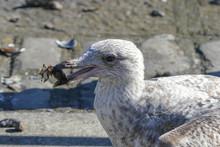Juvenile Herring Gull / Seagul...