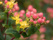 Closeup Of Pink Hypericum Berries And Yellow Flowers On A Bush In The Spring