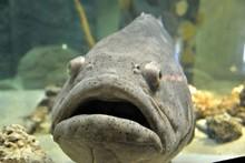 Goliath Grouper In Aquarium