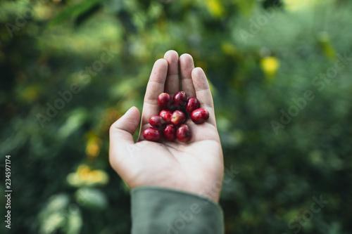 Fotografia red cherry coffee beans Arabica In nature
