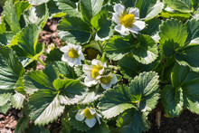 Detail Of Strawberry Plant Wit...
