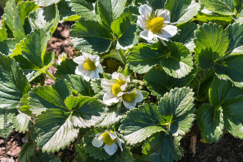 detail of strawberry plant with flowers in bloom