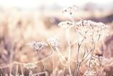 Delikatny kwiat w pajęczynach pokrytych białym szronem. Trawa na łące pokrytej szronem. Pierwsze jesienne przymrozki. Miękka selektywna ostrość. - 234621969