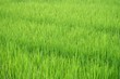 Leinwanddruck Bild - Silhouette warm light in lately evening with green paddy field in Thailand for background texture