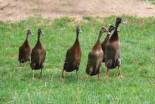 Indian Runner Ducks Run Across...