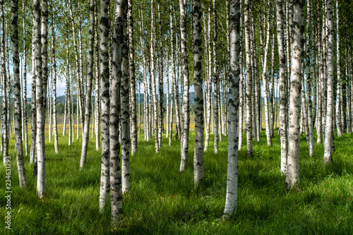 Stickers pour portes Bosquet de bouleaux Beautiful summer view of a hurst of birch trees with green grass forest floor