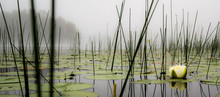Lilly Pads And Reeds On A Calm...