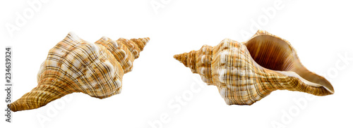 Pleuroploca trapezium, trapezium horse conch shell isolated on white Fototapete