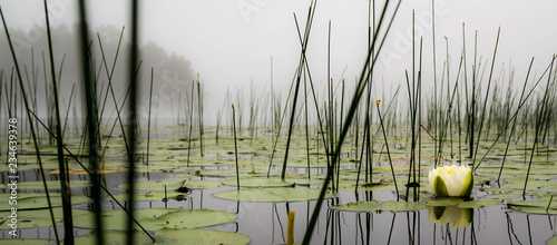 Obraz Lilly pads and reeds on a calm foggy lake in northern Wisconsin - fototapety do salonu