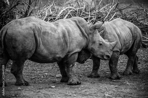 Spoed Foto op Canvas Neushoorn Picture of two white Rhinos in the wild