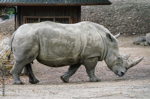 Fényképezés  Picture of white Rhino in the wild