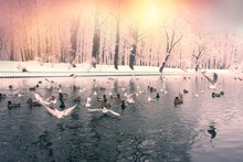 Birds On The Winter Lake In The Park