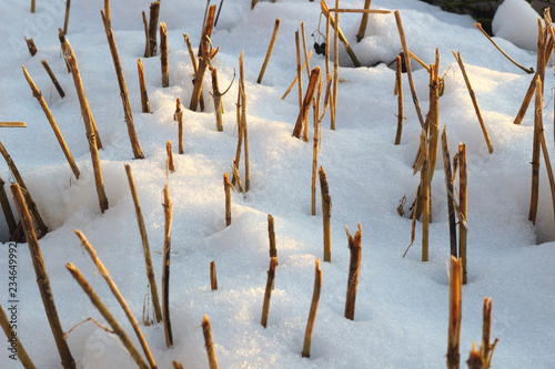 Fotografia  Dry short stalks protruding from the snow as a rhythm and abstraction