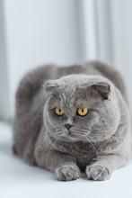 Close-up Shot Of Scottish Fold Cat Relaxing On Windowsill