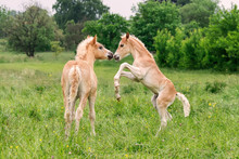 Two Haflinger Foals Playing An...
