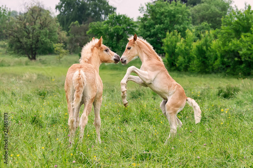 Vászonkép Two Haflinger foals playing and rearing in a meadow