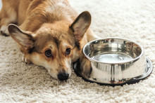 Adorable Corgi Dog With Bowl Of Water Lying On Carpet At Home