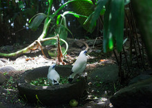 Bali Myna Or Rothschilds Mynah White Birds, Selective Focus