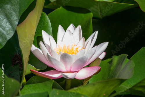 Photo Stands Water lilies Blooming white with pink waterlily flower