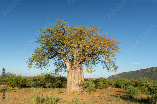 beautiful tree Baobab (Adansonia) in North Namibia