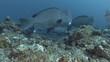 School of Humphead Parrotfish swim over coral reef in the blue water. Green Humphead Parrotfish - Bolbometopon muricatum. Bali, Oceania, Indonesia
