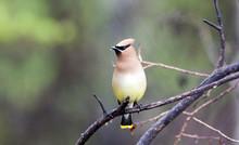 Cedar Waxwing, (Bombycilla Cedrorum), British Columbia, Canada.