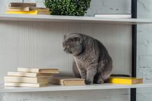 Adorable Scottish Fold Cat Reck Sitting On Shelving Unit On White