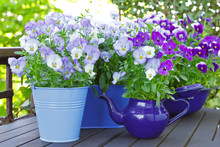 Purple, Blue And Violet Pansy ...