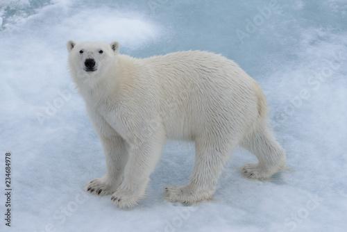 Poster Polar bear Wild polar bear on pack ice in Arctic sea close up