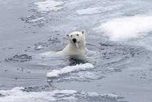 Polar Bear (Ursus Maritimus) Swimming In Arctic Sea Close Up.