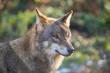 European Wolf, Canis lupus lupus